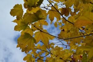 カジカエデの黄葉の葉
