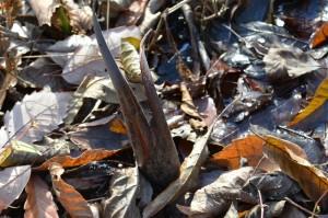 ザゼンソウの冬芽