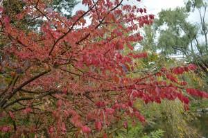 ニシキギの紅葉2