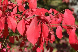 ニシキギの紅葉の葉