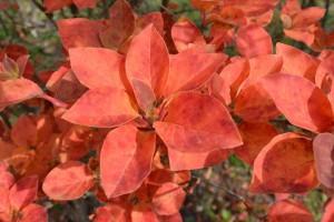 サラサドウダンの紅葉の葉