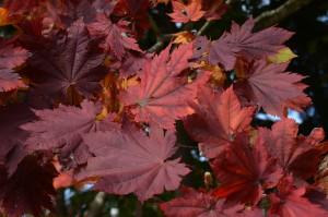 ハウチワカエデの紅葉の葉
