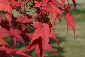 ヤマモミジの紅葉の葉1