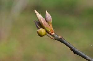 10.28 オオバクロモジ冬芽