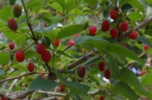 ヤマウグイスカグラの果実