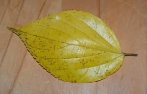 10.20 エノキ 黄葉