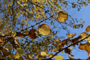 カツラの黄葉の葉