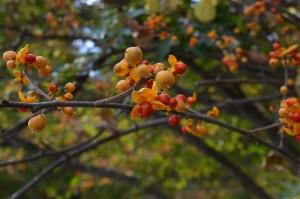 ツルウメモドキの果実