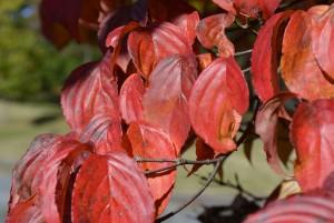 ヤマボウシの紅葉の葉