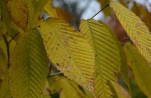チドリノキ黄葉