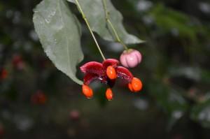 9.08 ツリバナの果実