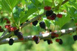 ヤマグワの果実