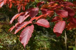 シラキの紅葉の葉