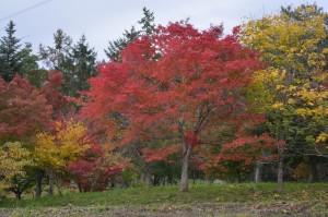 1030 カエデの森紅葉