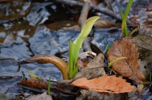 1112ミズバショウの冬芽