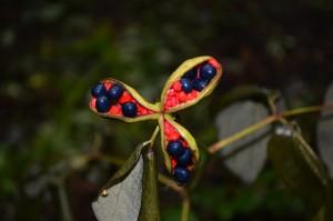 8.29 ヤマシャクヤクの果実