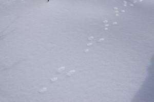 ノウサギの足跡