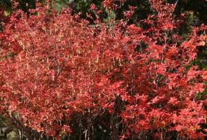 1021 アブラツツジ紅葉