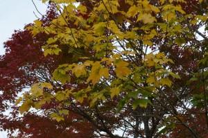 カジカエデの黄葉