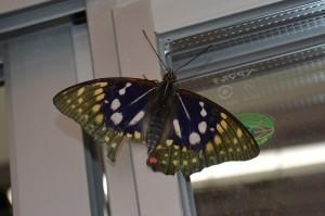 オオムラサキ蝶