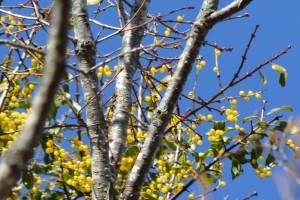 ホザキヤドリギの果実 (2)