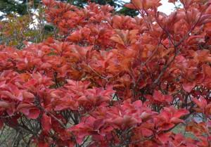 ベニサラサドウダン紅葉