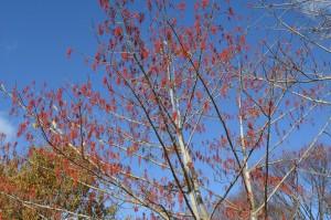 イイギリの果実の木