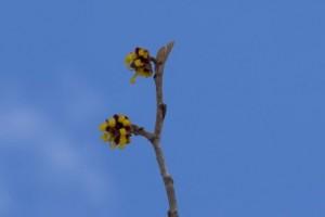 開花し始めたマルバマンサク