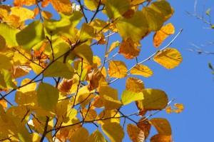 マルバマンサクの黄葉の葉