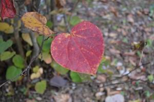 マルバノキの紅葉した葉