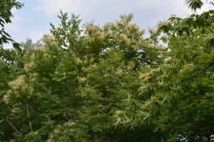 満開のクリの木