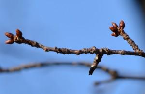 カスミザクラの冬芽2