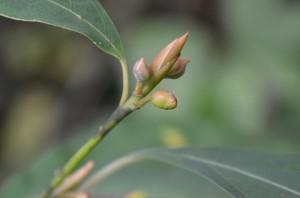 オオバクロモジ冬芽