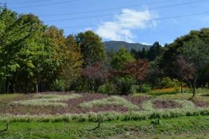 スワンヒルの庭とセンニチコウ