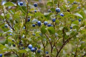 サワフタギの果実