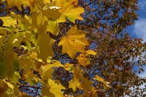 イタヤカエデの黄葉の葉