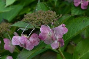 0923アジサイの装飾花