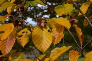 ブナの黄葉の葉