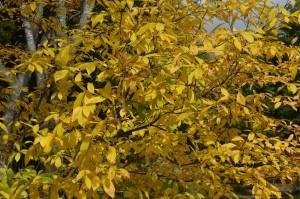 1023 オオバクロモジ黄葉