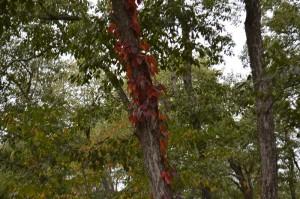 ツタウルシの紅葉