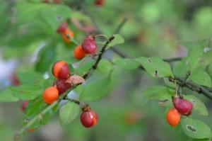 コマユミの果実