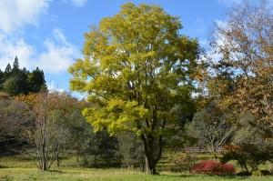 エノキの黄葉