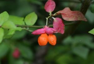 コマユミ果実