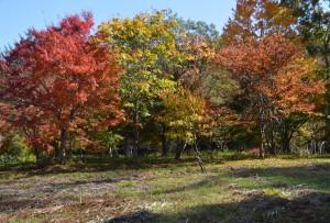 カエデの森の紅葉右