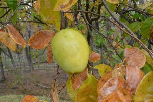 カリンの果実