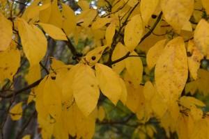 オオバクロモジの黄葉の葉 (2)◎