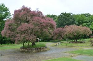 スモークツリーの木