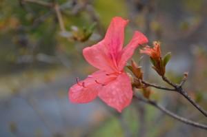 10.28 ヤマツツジ秋咲き