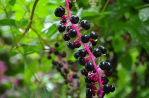 9.08 ヨウシュヤマゴボウの果実