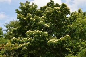 クマノミズキの木